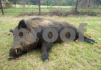 union-grove-man-bags-monster-416pound-feral-hog