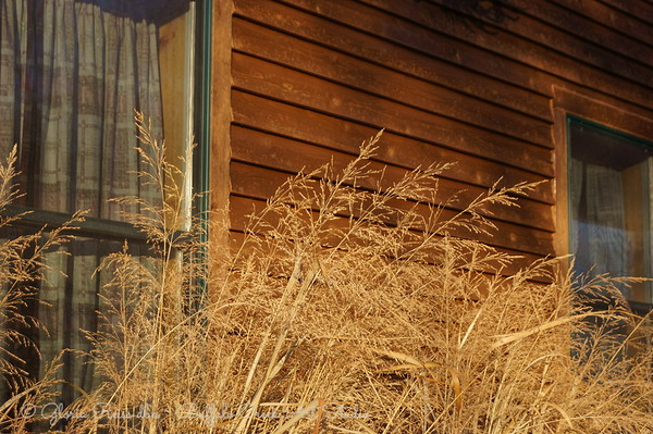 Tall Prairie Grasses