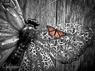 Butterfly in B&W 6-6-2012