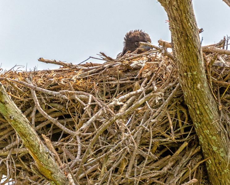 2017 Bald Eagle Chick-104.jpg