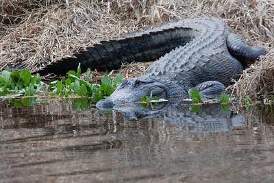 untitled20110202_Alligator MyakkaLakeFL_7I2B4367_11-02-02