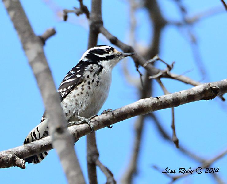 Female Nutall's Woodpecker - 1/4/14 - Valle Verde Park, CBC