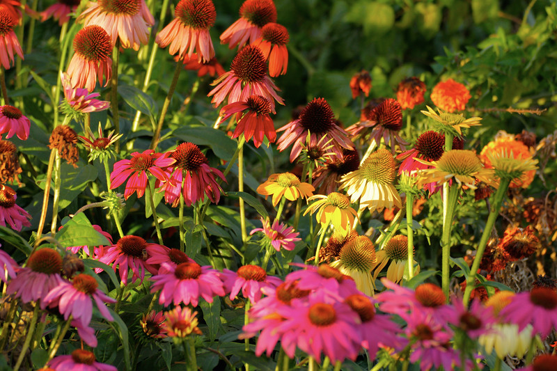 Cone Flowers before Sunset