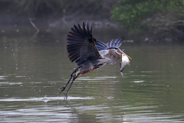 Great Blue Heron Fishing Series
