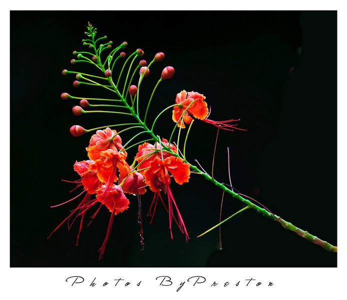 gr-orangeflower.jpg