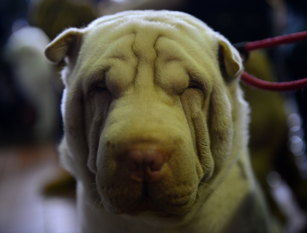 Description of . Robert Dinero Johnson, a Shar Pei, at the Westminster Kennel Club Dog Show February 11, 2013 in New York.  STAN HONDA/AFP/Getty Images