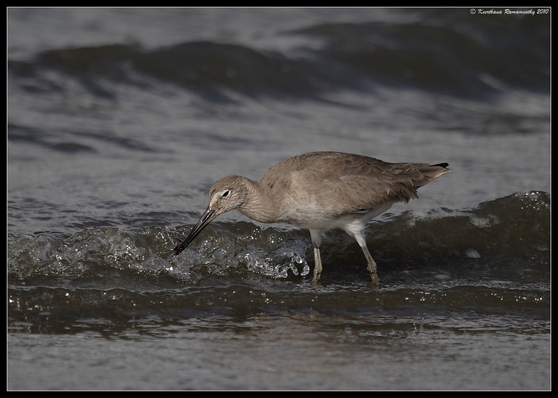 Willet, Coronado Ferry Landing, San Diego County, California, February 2010
