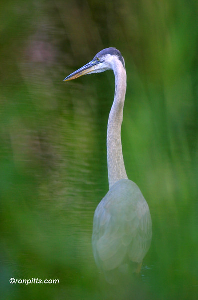 HIDING FROM THE HERON
