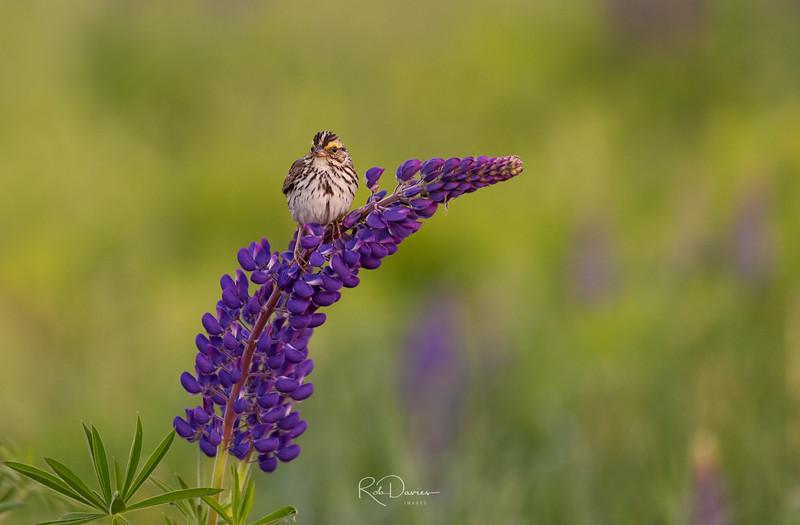 Savannah Sparrow on lupine stalk