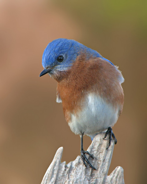 bluebird_1891.jpg