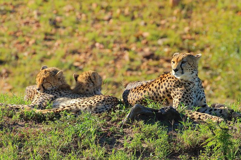 Cheetah 2.JPG