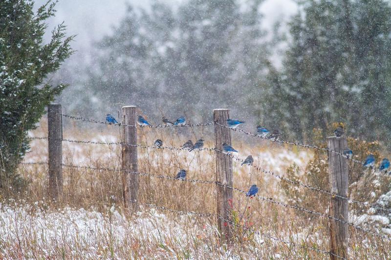 Mountain Bluebird flock on barbed wire fence in snow Theodore Roosevelt National Park Medora ND -1826.jpg