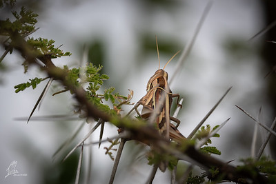 Locust, Brown-spotted