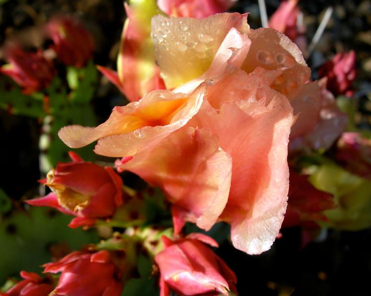 Opuntia macrocentra Flowers.jpg