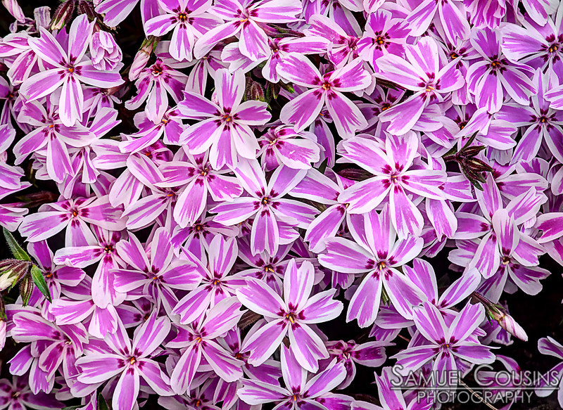 Some pink and white striped creeping phlox.
