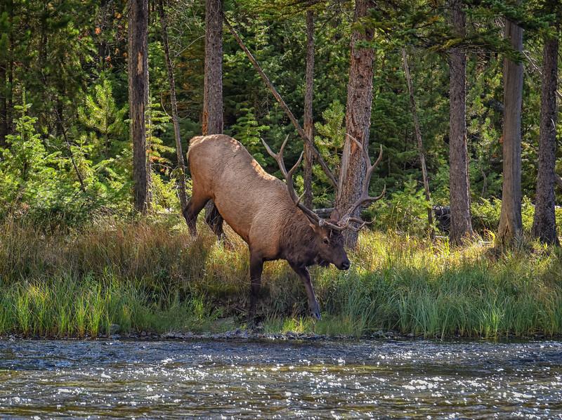 Bull Elk Entering River