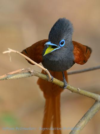 Afrikaanse paradijsmonarch; Botswana; Okavango; African paradise flycatcher; Terpsiphone viridis; Paradysvlieëvanger; Tchitrec d'Afrique