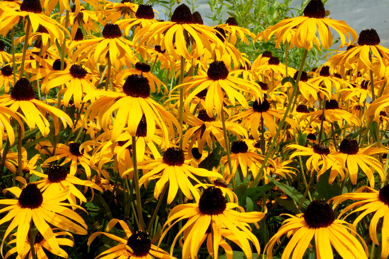 Black eyed susans 2.JPG
