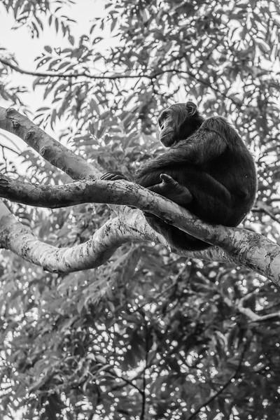 Uganda_T_Chimps-897.jpg