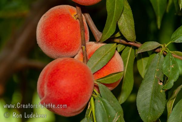 Royal May Peach - Prunus persica sp.