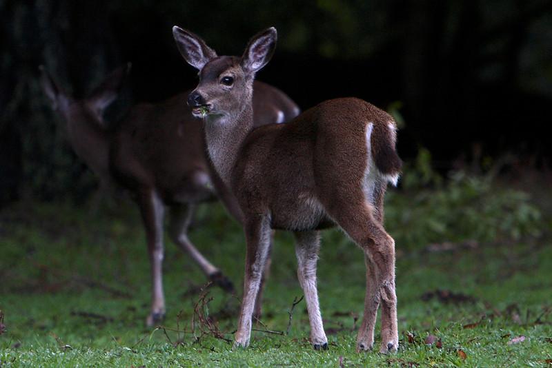 Blacktailed Deer, Pt Reyes