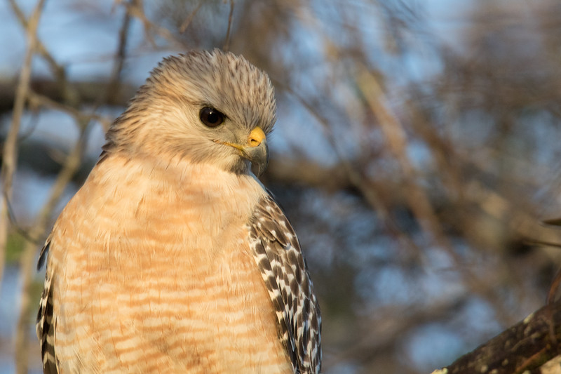 Red-shouldered Hawk Delray Beach FL 2020-1.jpg