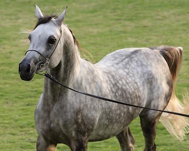 Ajman Arabian Horse Show 2012