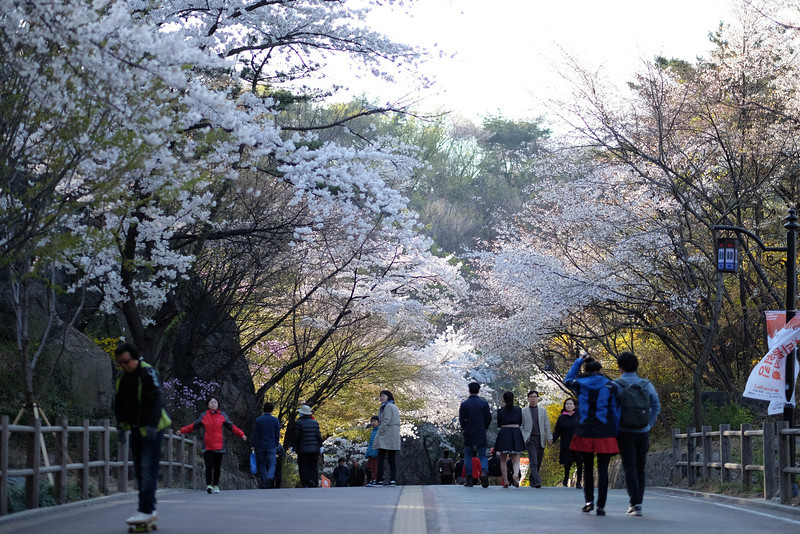 Namsan_Cherry_Blossoms_PhotoWalk-0053.jpg