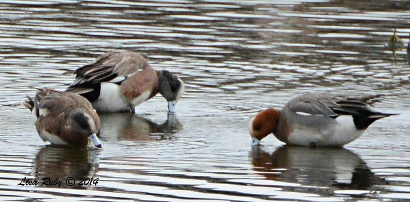 Eurasian Wigeon - 3/2/14 - Birding 100 San Diego Bird Festival