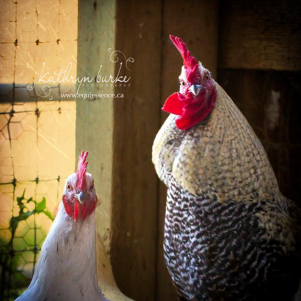 rooster 2016-9856.jpg