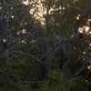 Bald eagles at sunset