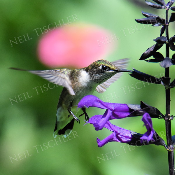 #1473  Ruby throated Hummingbird, juvenile male on purple salvia