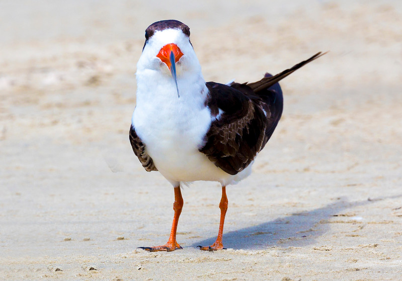 Black Skimmer sizing us up