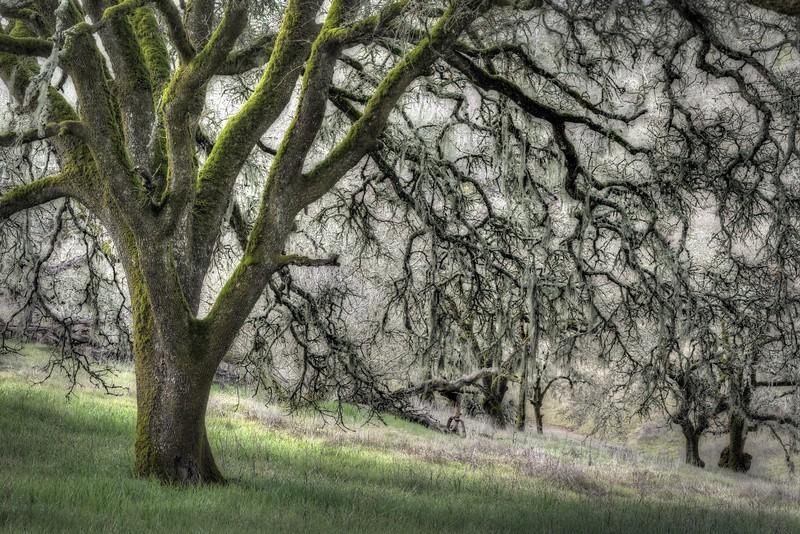 Oak Lace, Sonoma Valley, California