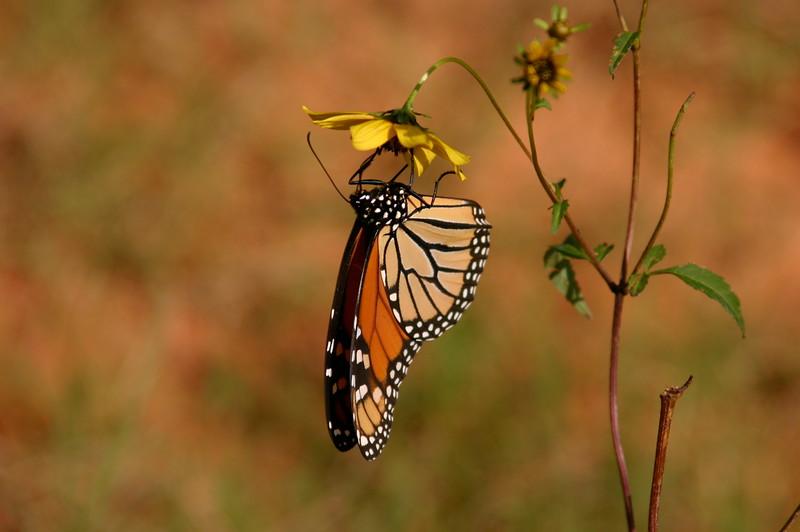 Monarch on Bidens.jpg