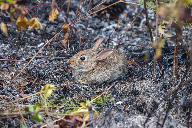 I spotted this rabbit hanging out in the ashes only minutes after the burn moved through this spot.