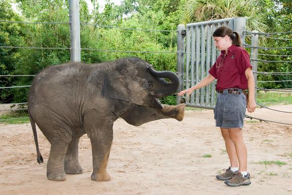 Mac, Asian Elephant at the Houston Zoo 2006-2008