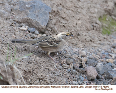 Golden-crowned Sparrow J76390.jpg