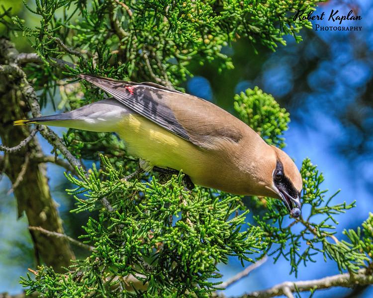 Cedar Waxwing-8931.jpg