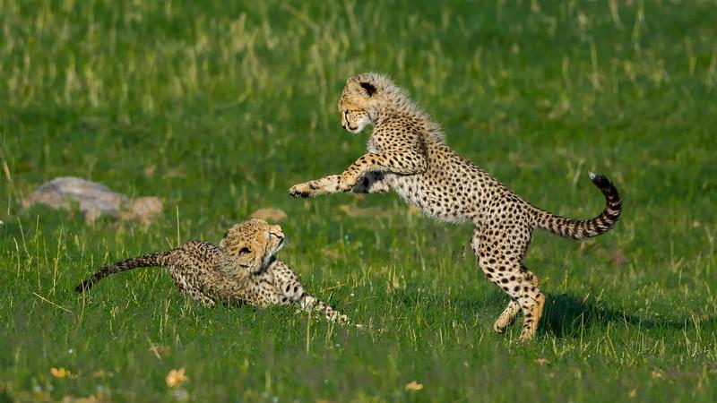 Cheetahs-0223.jpg