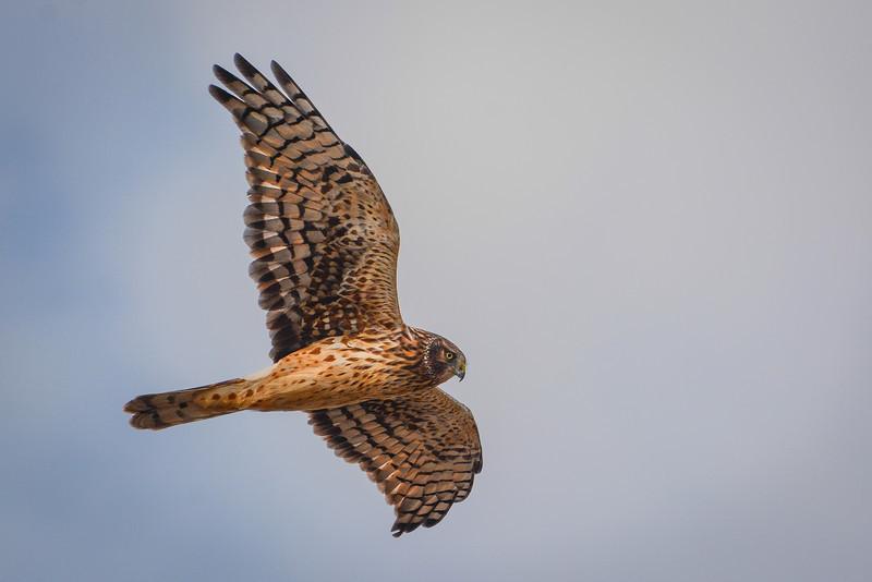 Female Northern Harrier Hawk