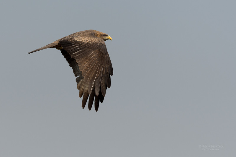Yellow-billed Kite, Chobe River, NAM, Oct 2016-1.jpg
