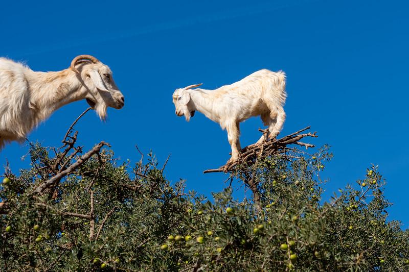 Goats in an argan tree in Morocco