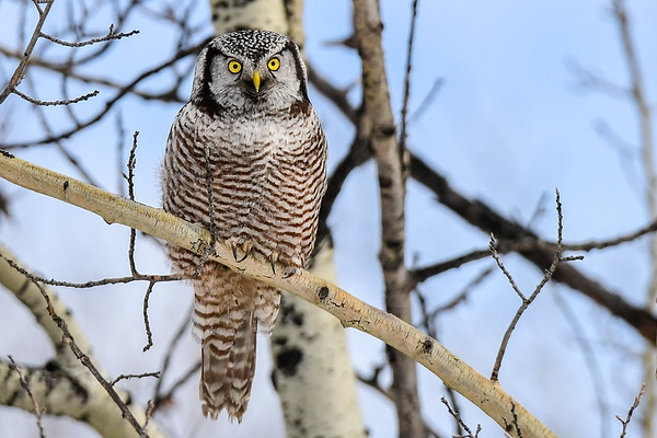 2-16-17 **Northern Hawk Owl - The Many Faces -  6
