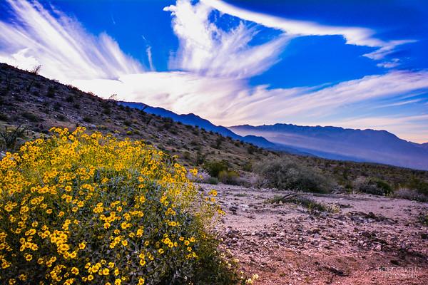 Anza Borrega Desert Super Bloom 2017