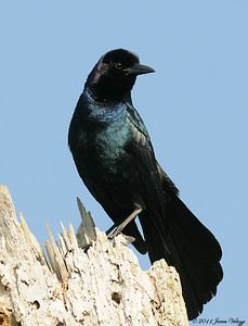 Boat-tailed Grackle, Quiscalus mexicanus