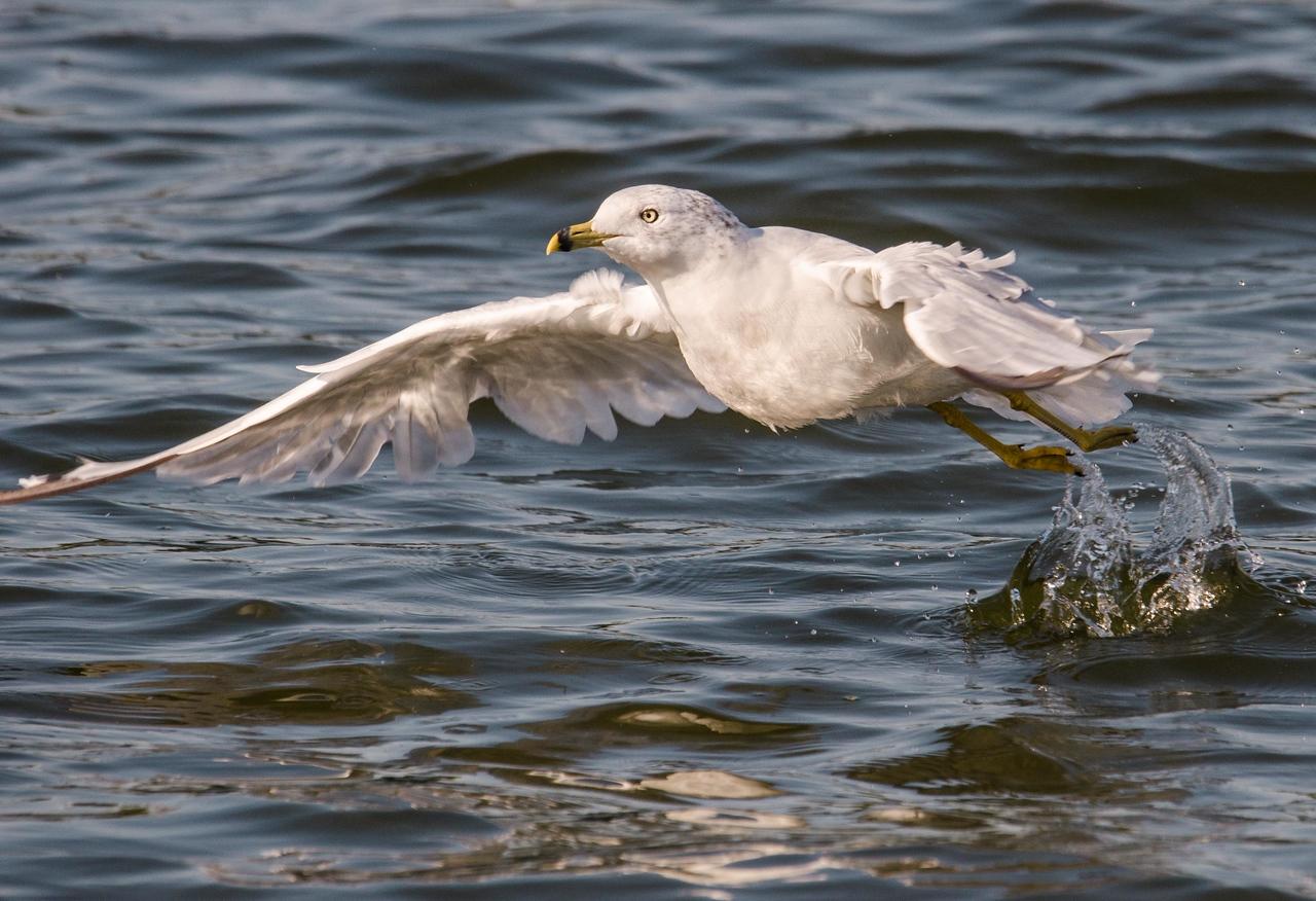 0016 - Sea Gulls & Eagles 9-2-12-3857