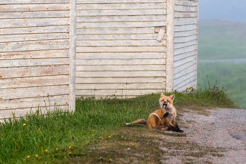 red fox scratching in fog 2138-.jpg