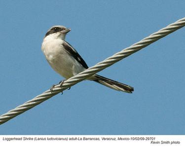 Loggerhead ShrikeA29701.jpg