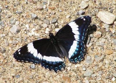 Butterflies, Etc.